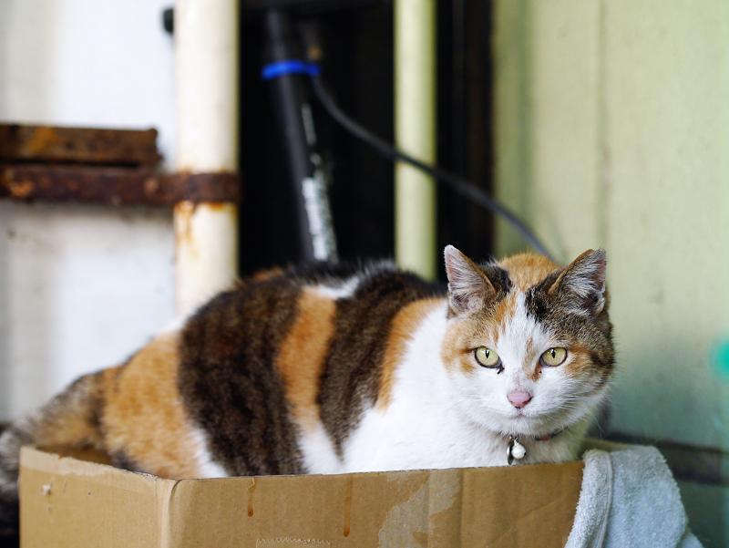 段ボール箱に入った三毛猫1