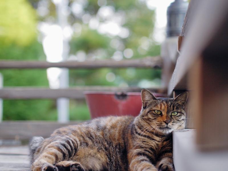 濡れ縁の猫