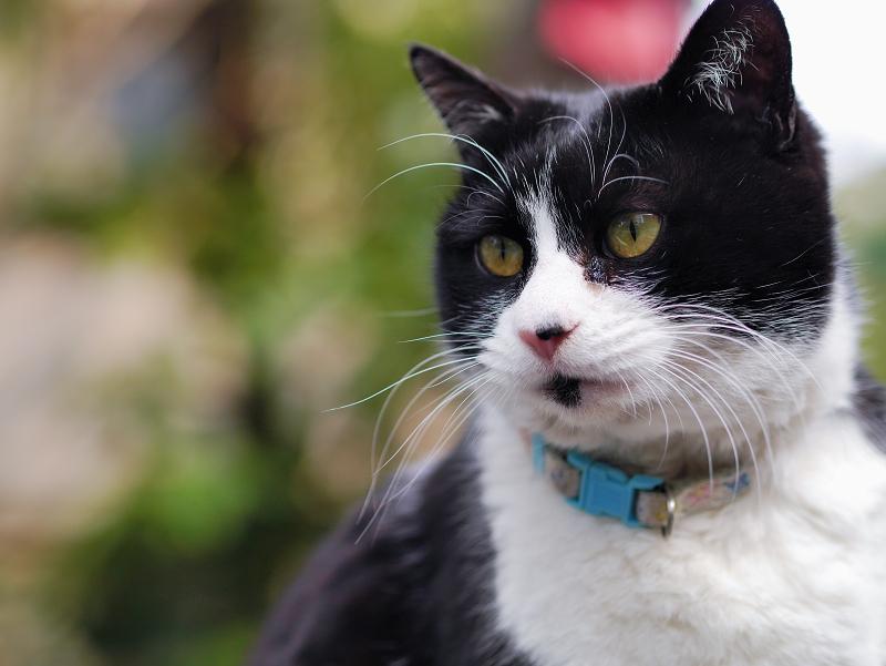 綺麗な背景と黒白猫
