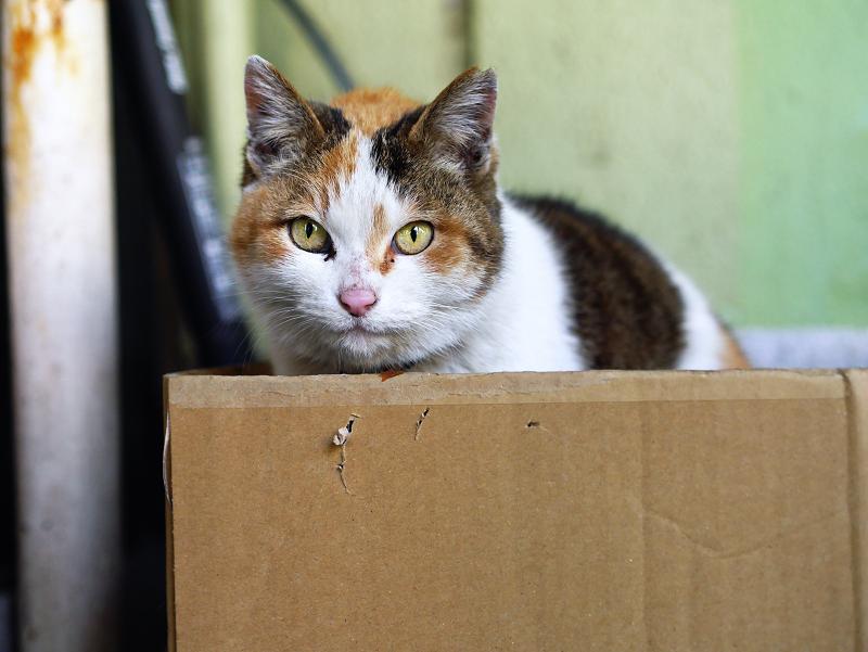 段ボール箱に潜り込んだ三毛猫1