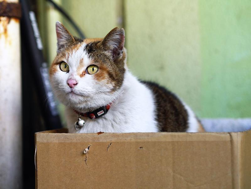 段ボール箱に潜り込んだ三毛猫2