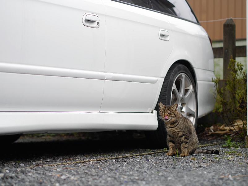 白い車と猫1