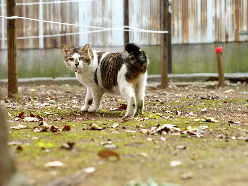 空き地で振り返る猫1
