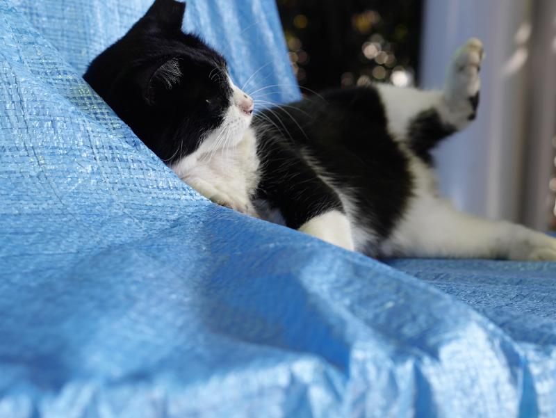 ブルーシートに乗ってる猫1