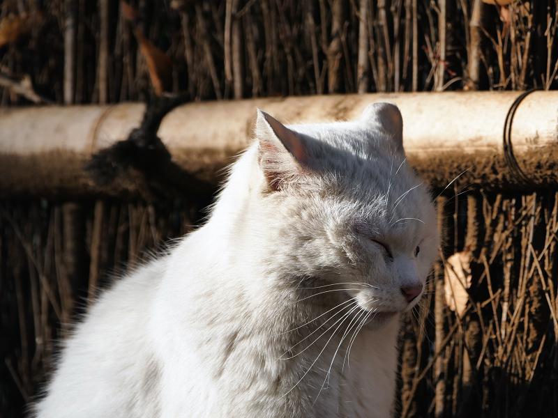 柵の前で目を閉じてる白猫