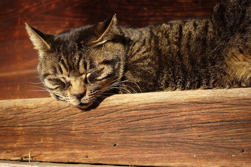 濡れ縁で日向ぼっこのキジトラ猫