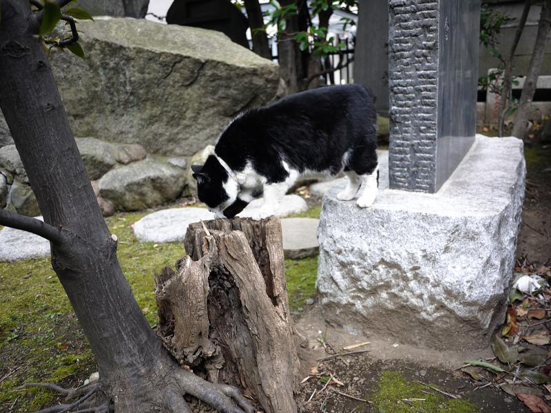 切り株を使って移動する黒白猫1