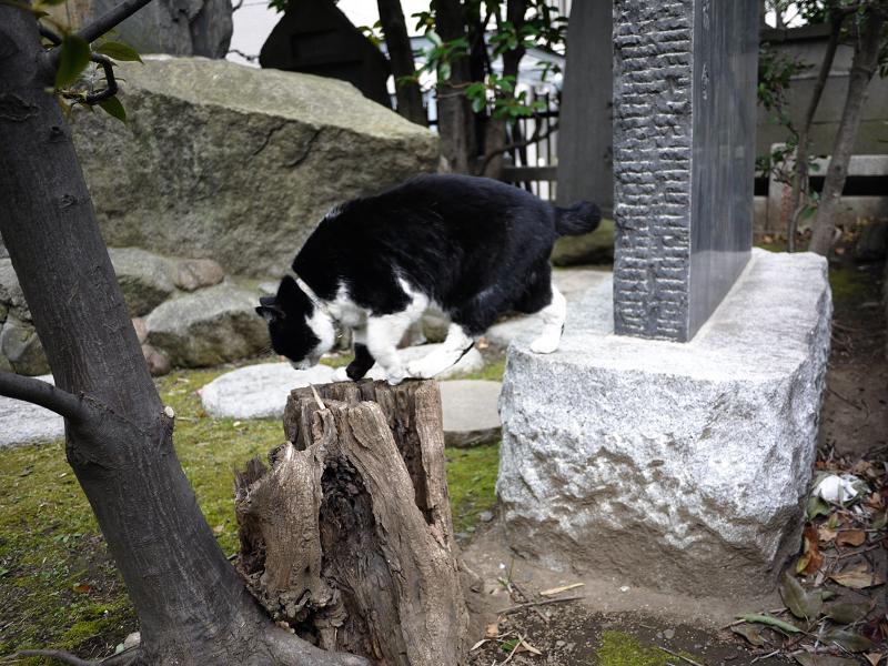 切り株を使って移動する黒白猫2