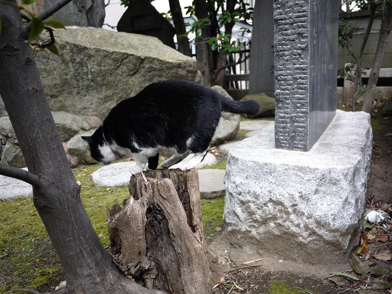 切り株を使って移動する黒白猫3