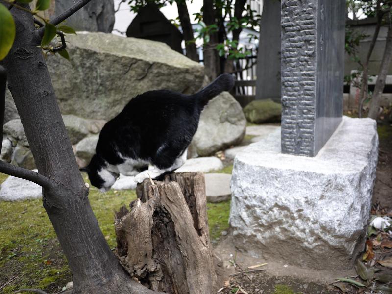 切り株を使って移動する黒白猫4