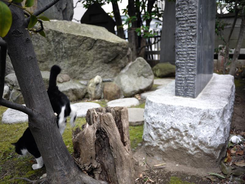切り株を使って移動する黒白猫5