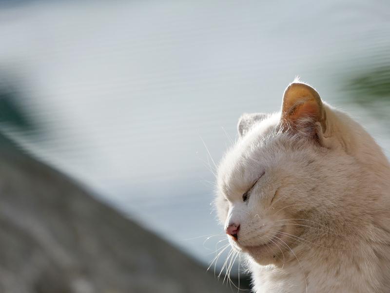 瞑想中の白猫2