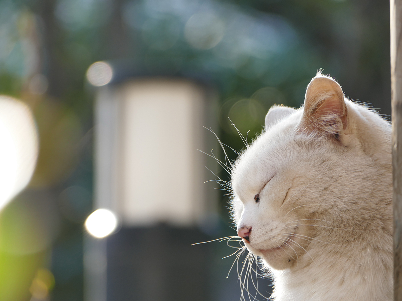 瞑想中の白猫4