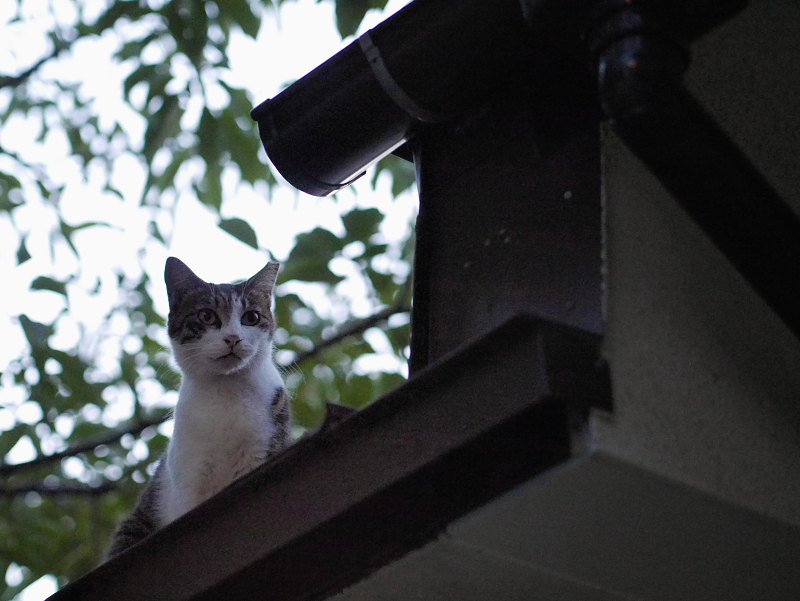 通路の屋根の猫1