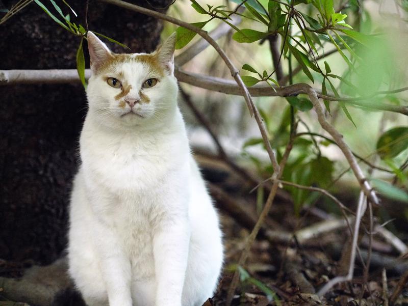 茂みの中の白茶ネコ1