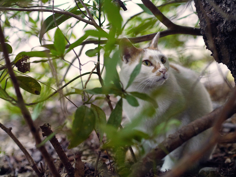 茂みの中の白茶ネコ2