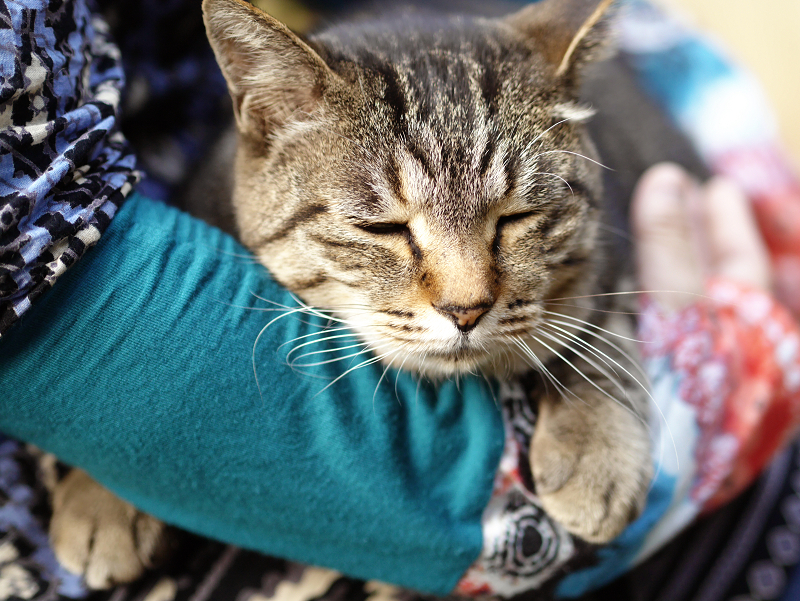 抱きしめられるキジトラ猫1