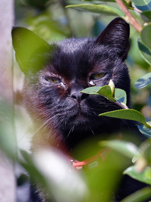 茂みの中の黒猫1