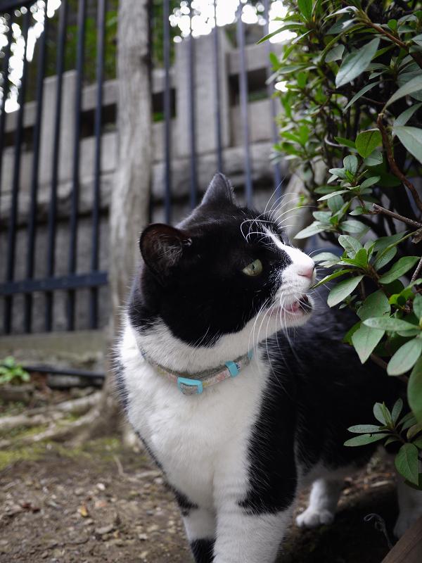 葉っぱを食べてる黒白猫1