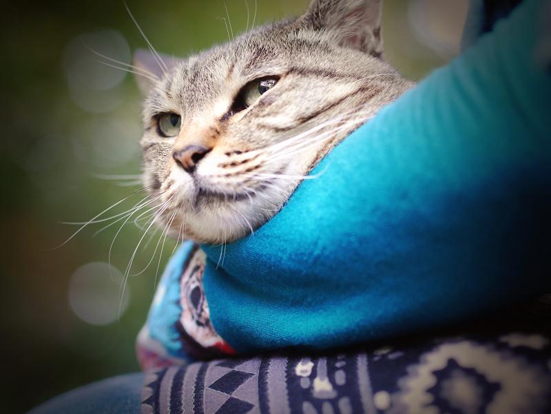抱きしめられるキジトラ猫2