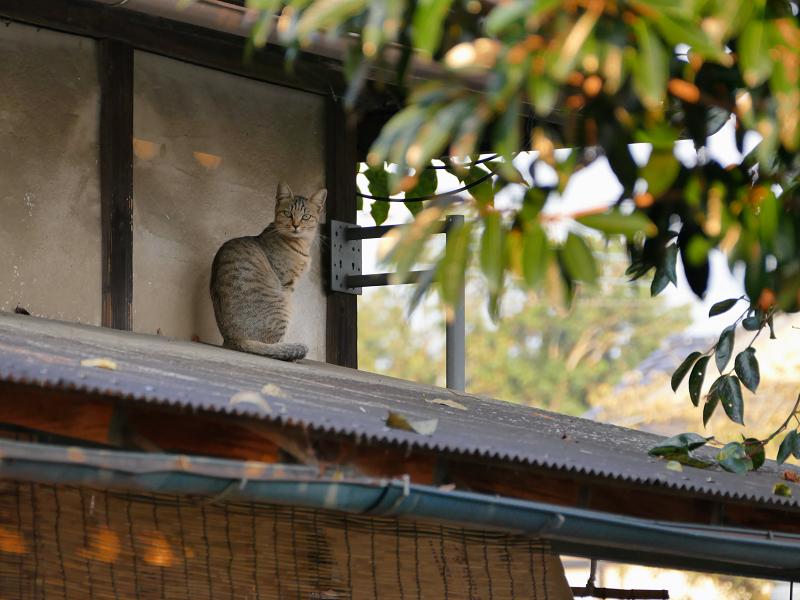 里の秋とキジ猫