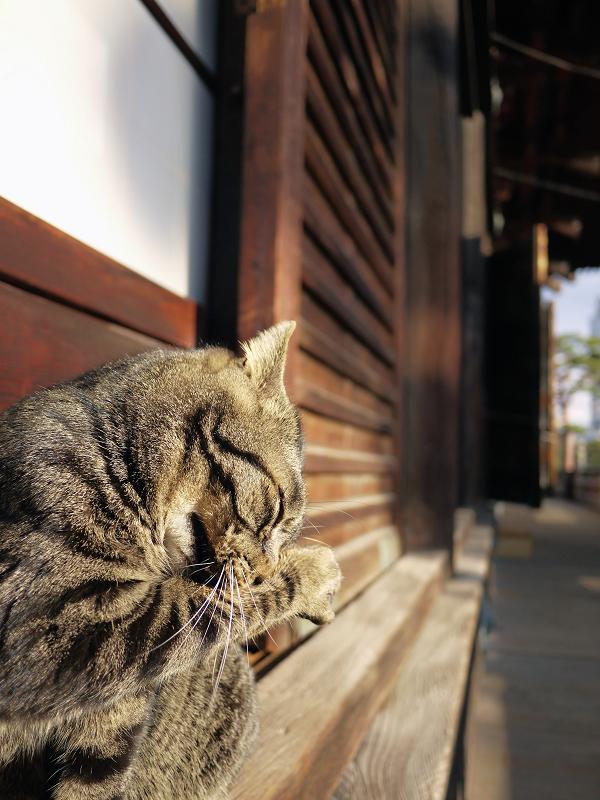 濡れ縁の端で毛繕いしてるキジトラ猫1