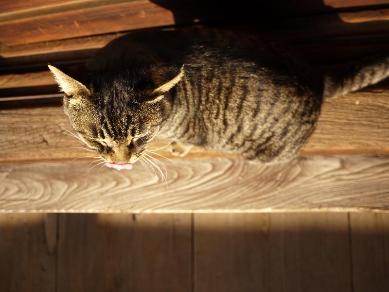 濡れ縁の端で毛繕いしてるキジトラ猫4