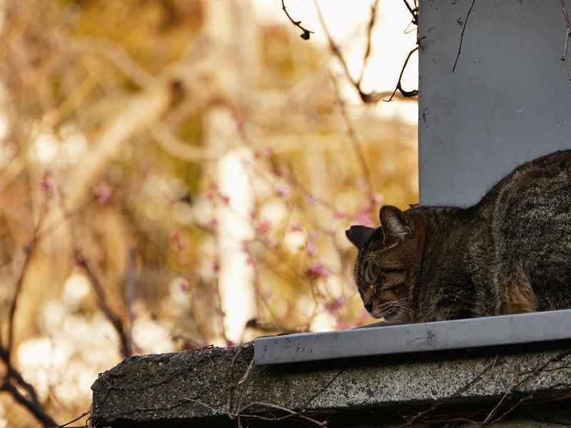 梅の花の前で寝ているキジトラ猫1