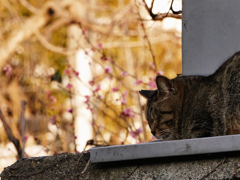 梅の花の前で寝ているキジトラ猫2