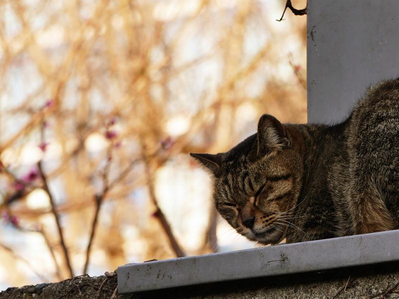 梅の花の前で寝ているキジトラ猫3