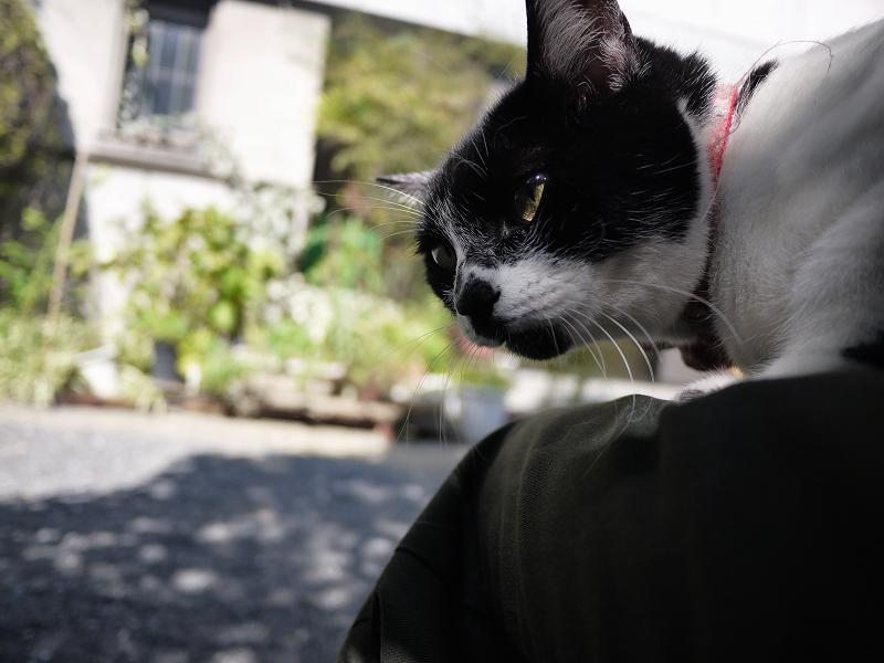 膝の上で睨む白黒猫1