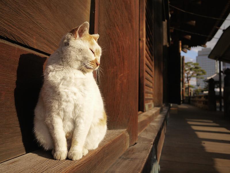 濡れ縁の端で恍惚顔の白茶猫1