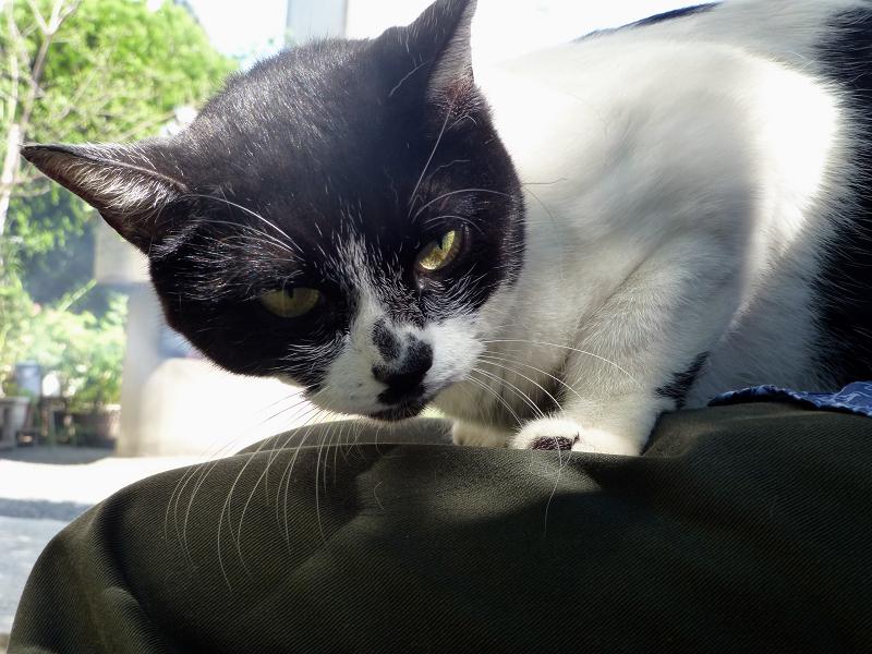 膝の上で睨む白黒猫2