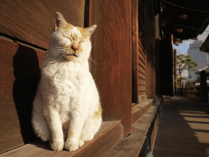 濡れ縁の端で恍惚顔の白茶猫3