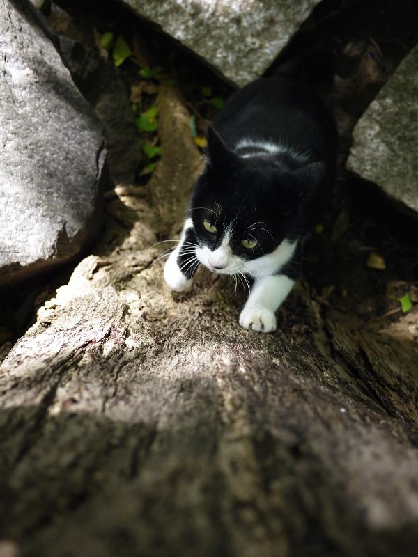 銀杏にパッツンする黒白猫1