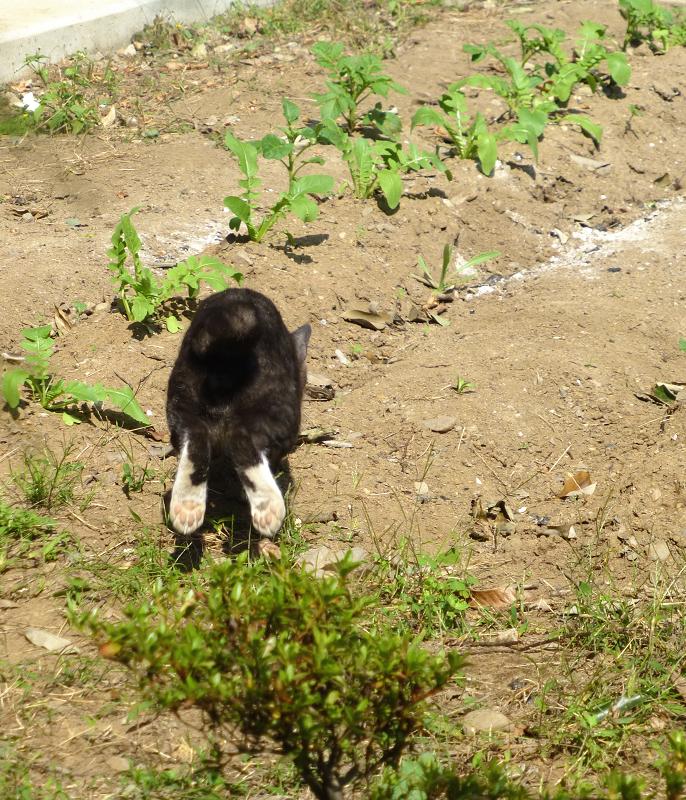 畑で遊ぶ仔猫1