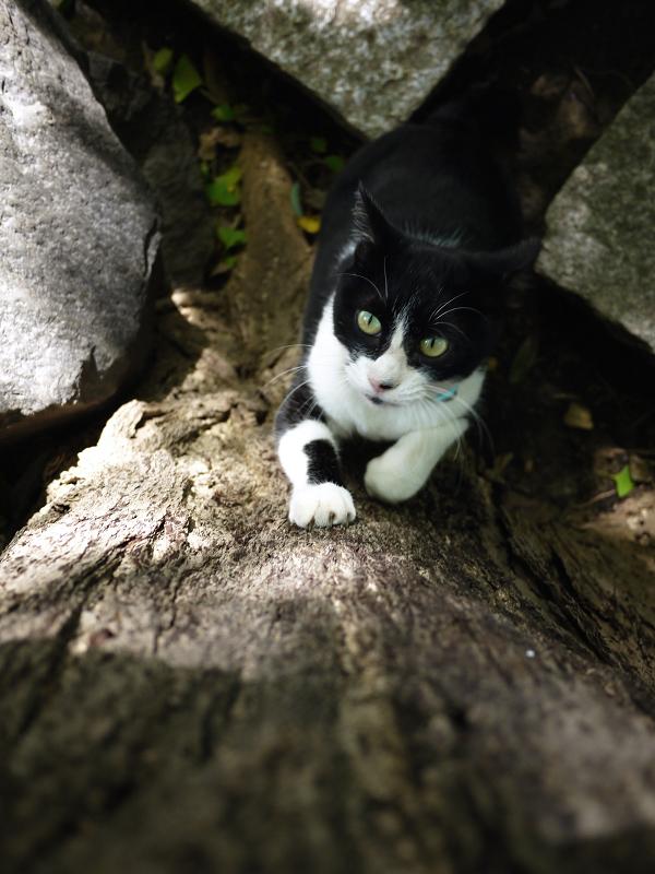 銀杏にパッツンする黒白猫2