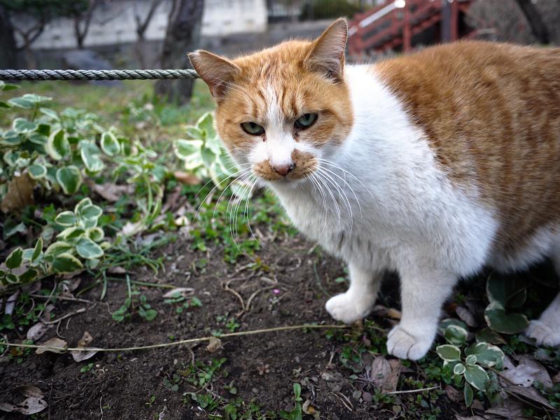 公園で出会った茶白猫