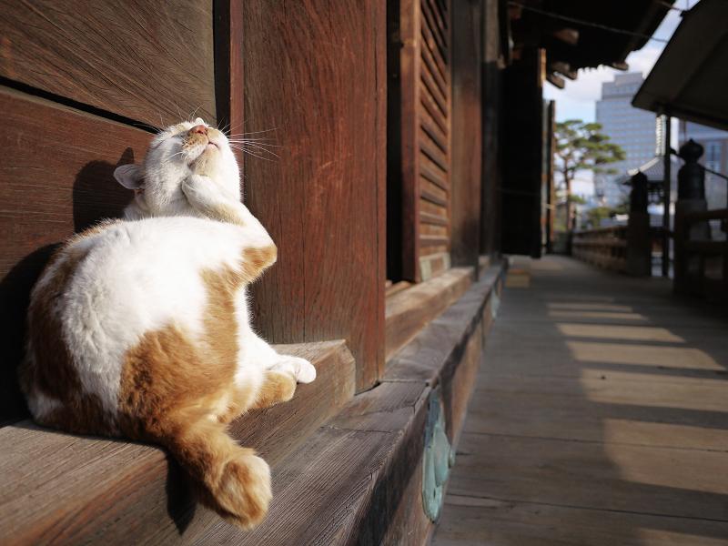 濡れ縁の端でカキカキする白茶猫1