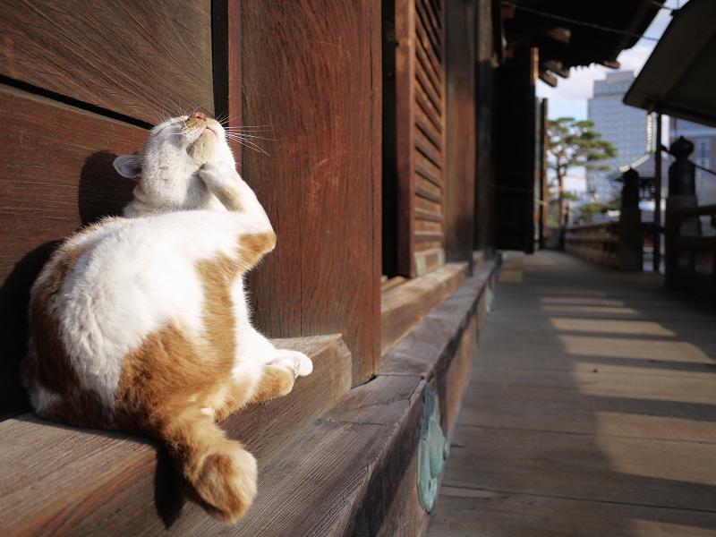 濡れ縁の端でカキカキする白茶猫3