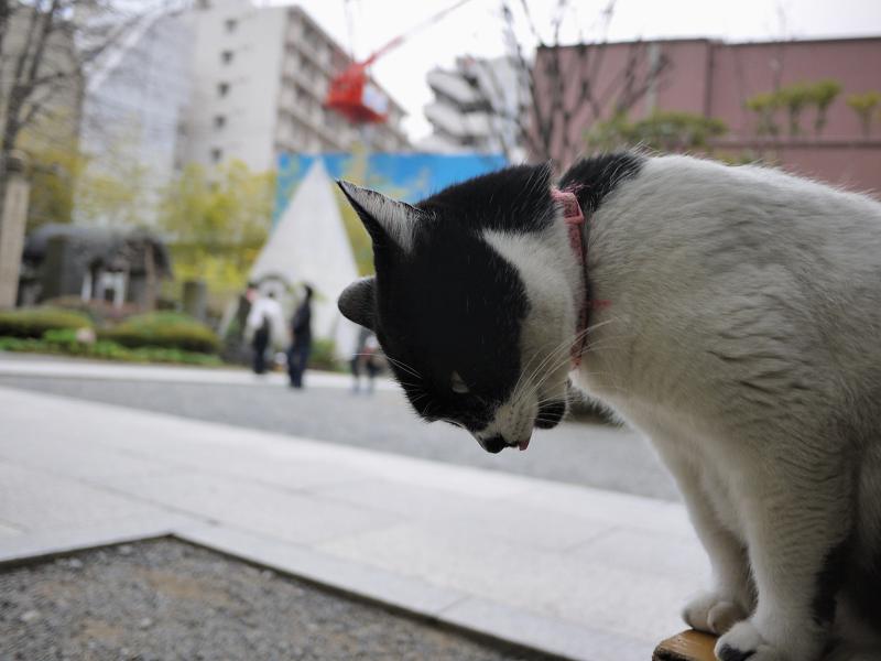 ベンチに乗って俯いて舌を出す黒白猫
