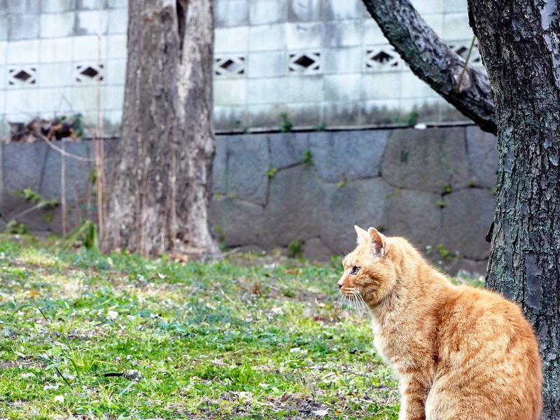 公園で何かを見ている茶トラ猫1