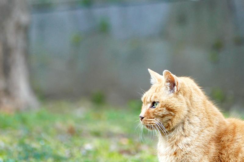 公園で何かを見ている茶トラ猫2