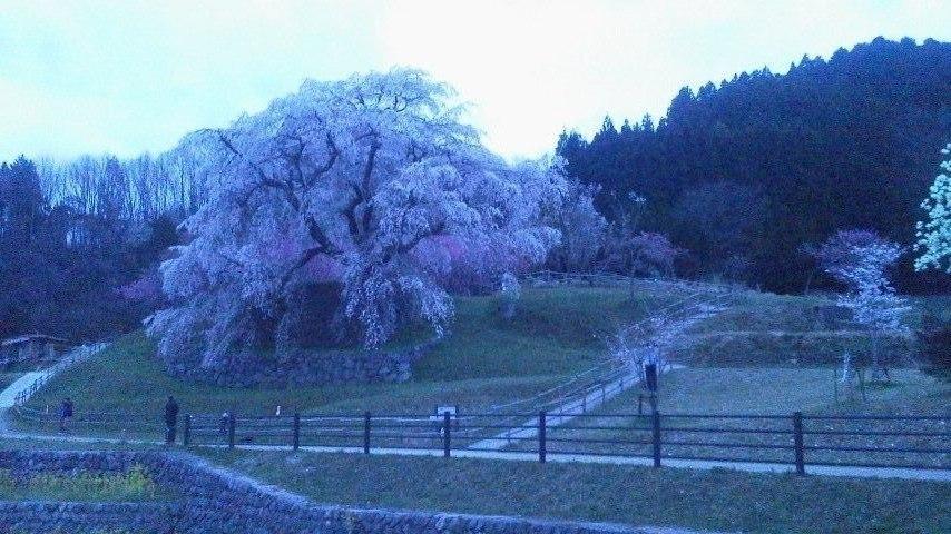 またべい桜