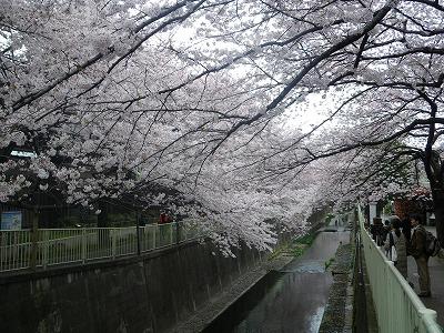 高井戸の桜
