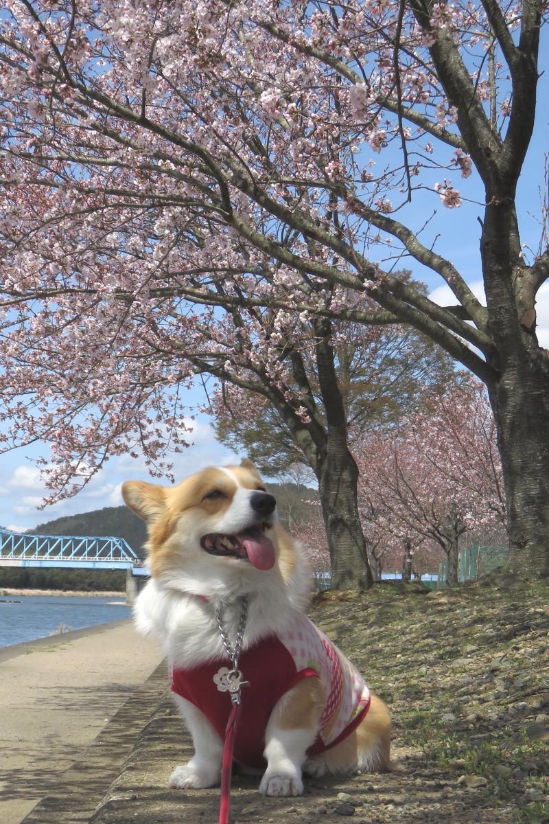 まりぼんと桜1