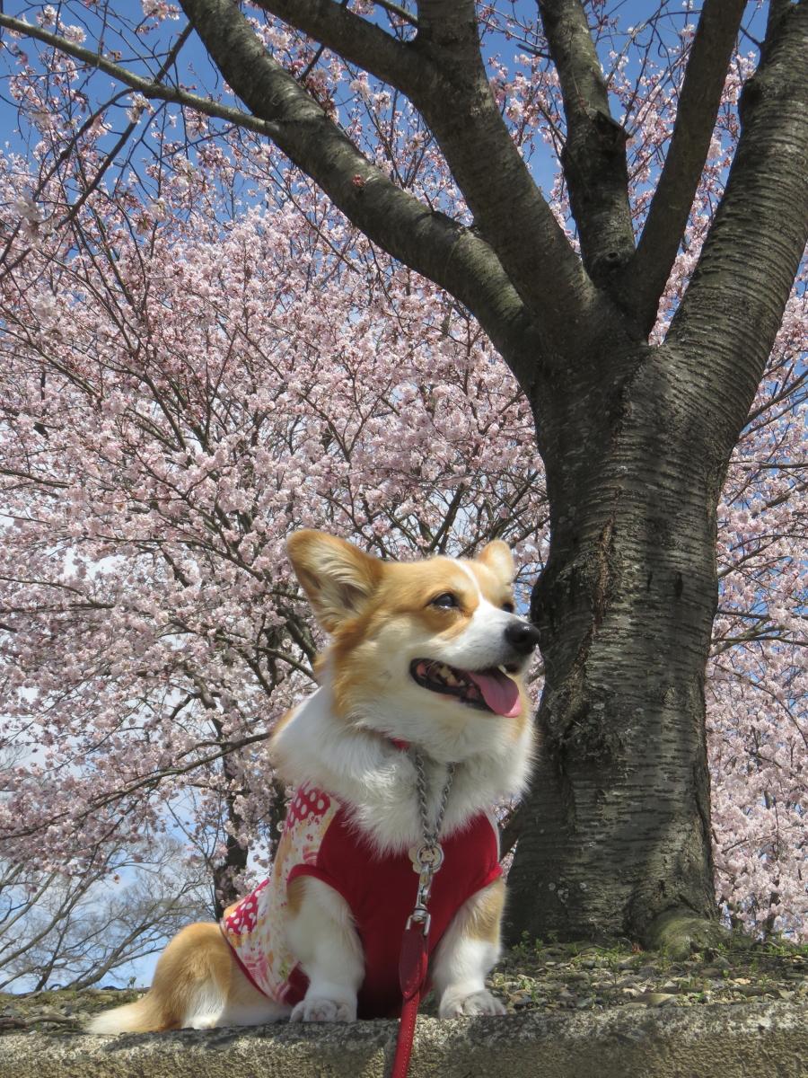 まりぼんと桜5