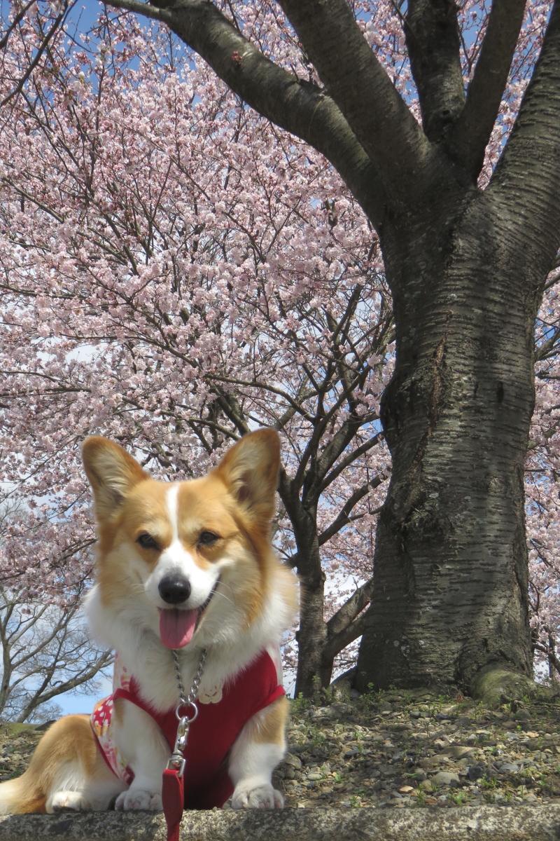 まりぼんと桜3