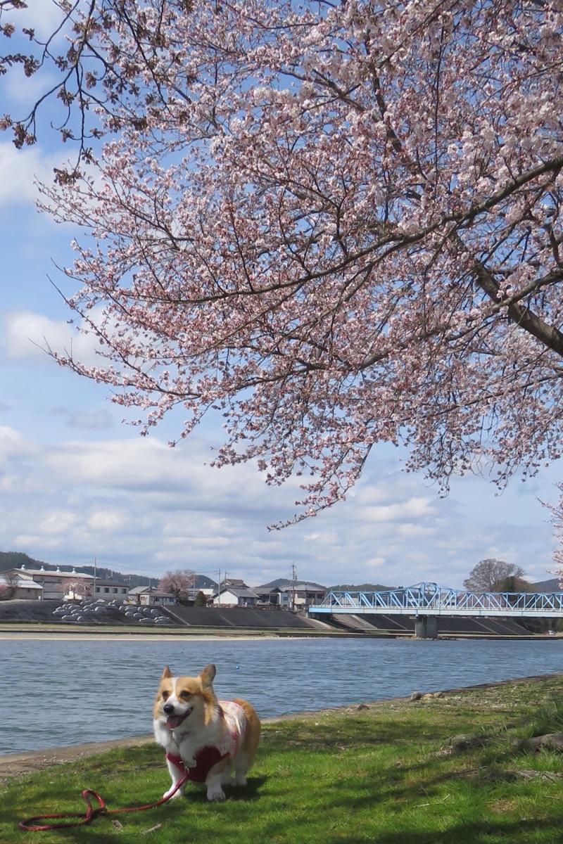 まりぼんと桜4