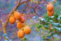 ②柿の実ともみじ
